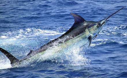 Marlin Challenge caps off Billfish events