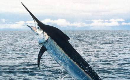 Historic marlin haul a boost in trying times